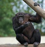 Chimpanzee - Pan troglodytes. Adult chimpanzee holding on to a wooden rail staring ahead Royalty Free Stock Photos
