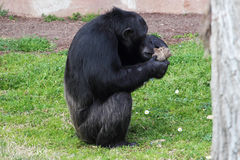 Chimpanzee (Pan Troglodytes) browsing a package Stock Photo