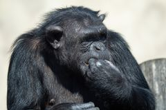 A chimpanzee Pan Troglodytes eating a vegetable. Portrait of the chimpanzee stock images
