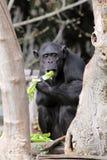 Chimpanzee (Pan Troglodytes) eating Stock Photos