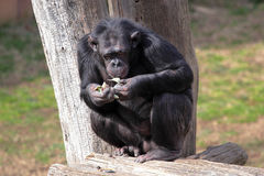 Chimpanzee (Pan Troglodytes) eating Stock Images