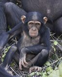 Chimpanzee Pan troglodytes. Chimpanzee in its natural habitat on Baboon Islands in The Gambia royalty free stock photography