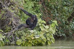 Chimpanzee Pan troglodytes. Chimpanzee in its natural habitat on Baboon Islands in The Gambia royalty free stock images