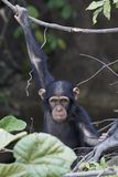 Chimpanzee Pan troglodytes. Chimpanzee in its natural habitat on Baboon Islands in The Gambia stock images