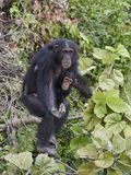 Chimpanzee Pan troglodytes. Chimpanzee in its natural habitat on Baboon Islands in The Gambia royalty free stock photo