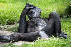 Chimpanzee - Pan Troglodytes Portrait. Funny Oh No Gesture of Monkey royalty free stock images