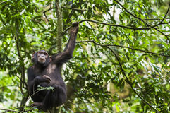 Chimpanzee ( Pan troglodytes ) resting  on the tree in the jungle Royalty Free Stock Images