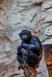 Chimpanzee or Pan troglodytes is sitting on a log Royalty Free Stock Images