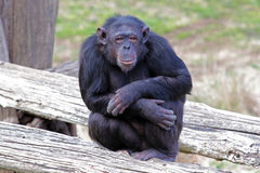 Chimpanzee (Pan Troglodytes) sitting Royalty Free Stock Image