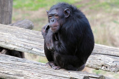 Chimpanzee (Pan Troglodytes) sitting Stock Photography