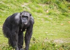 Chimpanzee (Pan troglodytes). Spotted outdoors royalty free stock image