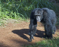 Chimpanzee path Stock Photos