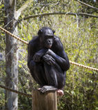 Chimpanzee on a perch Royalty Free Stock Photography