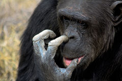 Chimpanzee picking his nose Stock Photo