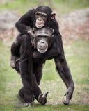 Chimpanzee Piggyback II Stock Image