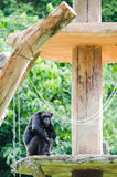 Chimpanzee on platform Stock Photo