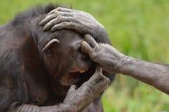 Chimpanzee play royalty free stock photos