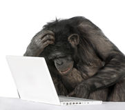 Chimpanzee playing with a laptop Stock Images