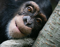Chimpanzee Portrait Royalty Free Stock Photography