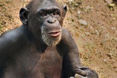 Chimpanzee portrait. Closeup portrait of an excited chimpanzee stock photography