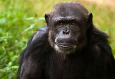 Chimpanzee portrait Royalty Free Stock Images