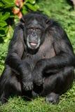 Chimpanzee Portrait Royalty Free Stock Photo