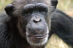 Chimpanzee Portrait. Close-up of a female chimpanzee Stock Photography