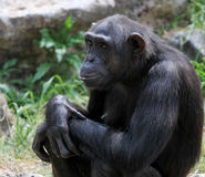 Chimpanzee portrait Royalty Free Stock Image