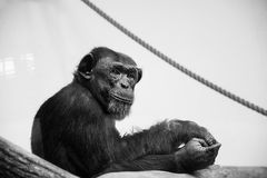 Chimpanzee portrait. Black and white portrait of a chimpanzee resting on a branch and looking into the camera Royalty Free Stock Photos