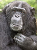 Chimpanzee. Portrait of a female chimpanzee stock photo