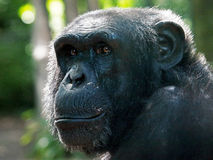 Chimpanzee. Portrait of a Chimpanzee with a green background royalty free stock images