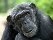 Chimpanzee. Portrait of a Chimpanzee with a green background royalty free stock photo