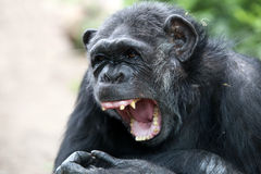 Chimpanzee. Portrait of a Chimpanzee with a green background stock photos