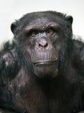 Chimpanzee. A portrait of a male chimpanzee stock photos