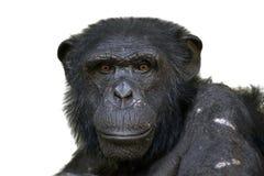 Chimpanzee. Portrait of a male chimpanzee royalty free stock images