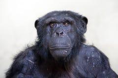 Chimpanzee. A portrait of a male Chimpanzee stock images