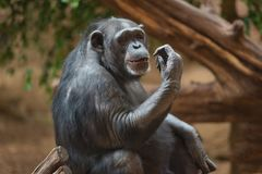 Chimpanzee portrait in natural habitat.  stock image