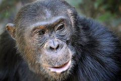 Chimpanzee portrait Royalty Free Stock Images