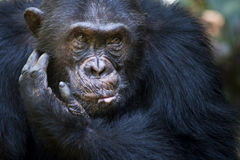 Chimpanzee portrait. Portait of a Chimpanzee in thought stock photography