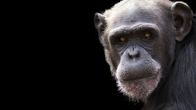 Chimpanzee portrait with room for text. Dramatic portrait of a chimpanzee on a black background with room for text royalty free stock photography