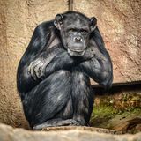 Chimpanzee. Portrait of sitting and relaxing chimpanzee royalty free stock photography