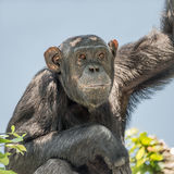 Chimpanzee portrait at tree at guard Stock Photos