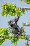 Chimpanzee portrait at tree at guard Stock Photo