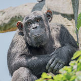 Chimpanzee portrait at tree at guard Stock Photography
