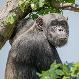 Chimpanzee portrait at tree at guard Royalty Free Stock Photos
