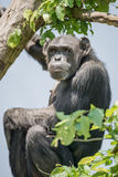Chimpanzee portrait at tree at guard Stock Images