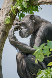 Chimpanzee portrait at tree at guard Royalty Free Stock Photography
