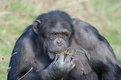 Chimpanzee portrait. Upper body. Eating grass Royalty Free Stock Photo