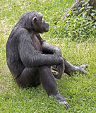 Chimpanzee 5 Royalty Free Stock Images