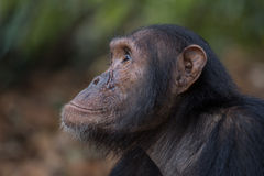 Chimpanzee portrait. Portrait of a young male Eastern chimpanzee in natural habitat Royalty Free Stock Images